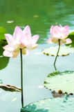 Hardy Waterlily in nature pool Stock Image