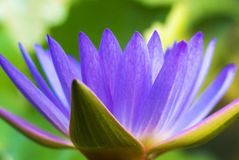 Hardy Waterlily in nature pool Stock Photography
