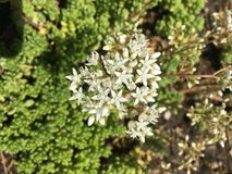 White Wild Flowering Groundcover. Hardy White flowers on rocky royalty free stock photos