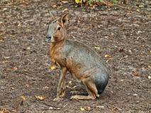 Hare Royalty Free Stock Photo