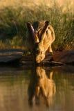 Hare. Drinking water, Kalahari, South Africa royalty free stock images