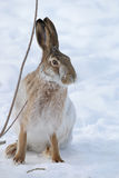 Hare. Brown hare with long ears on snow background Royalty Free Stock Photography