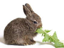 Hare. Little hare is eating on grass Royalty Free Stock Photography