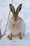 Hare. Brown hare with long ears on snow background royalty free stock photo