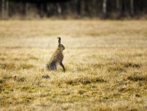 Hare. European field hare in the meadow stock photography
