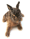 Hare_2 Royalty Free Stock Photography