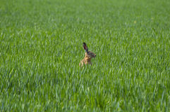 Hare. Brown hare staring into green grass field Royalty Free Stock Photo