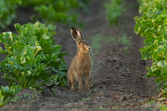 Hare. Sitting  in the fields Royalty Free Stock Photos