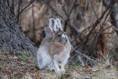 Hare. A hare on a spring day in Alaska Royalty Free Stock Photo