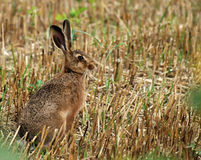 Hare Stock Photos