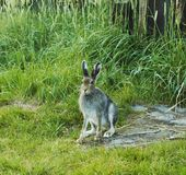 Hare. Wild hare in the grass stock photos