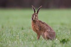 Hare Fotografering för Bildbyråer