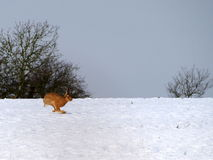 Hare against a snowy background. A wild hare running with legs crossed against a winter background Stock Photography