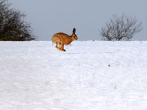 Hare in the air on snow. A hare running at full speed on a white snow background Royalty Free Stock Photo
