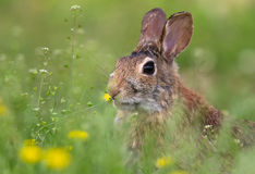 Hare. It is a baby hare royalty free stock photos