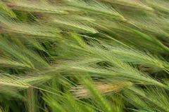 Hare Barley Background Stock Photo