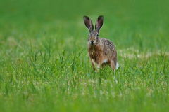 Hare in the beautiful light on green grassland royalty free stock photos