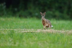 Hare in the beautiful light on green grassland Royalty Free Stock Images