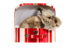 Hare in box Royalty Free Stock Photo