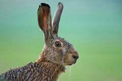 Hare. Close up photo of hare Stock Photo