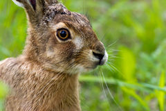 Hare. A closeup of the European hare (Lepus europaeus) on a green summer field in Uppland, Sweden stock image
