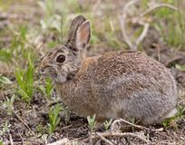 Hare in Colorado. An adorable rabbit in Rocky Mountain National Park, Colorado Stock Images