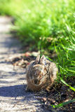 Hare - cowering - high size Royalty Free Stock Photography
