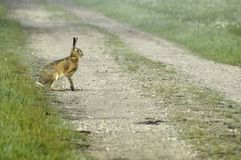 Hare crossing country lane Stock Image