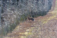 Hare on an orchard in the winter months royalty free stock photo