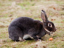 Hare eating carrot Royalty Free Stock Images
