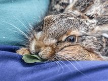 Hare eating a dandelion leaf royalty free stock photo