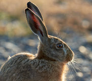 Hare eating grass in the morning sun. Hare portrait in the morning sun, Sweden. Oeland stock photo
