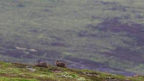 Hare för 2 berg, Lepustimidus, i juli spring och matning på en lutning, röktopas NP, Skottland stock video
