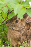 A hare feeding on grass up close. Snowshoe Hare (Lepus Americanus) munching on grass Royalty Free Stock Photography