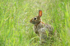 Hare on field Stock Images