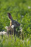 Hare in a field. Picture of a hare sitting in a field- the photo was taken in the early morning Royalty Free Stock Image