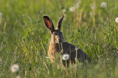 Hare in a field Royalty Free Stock Image