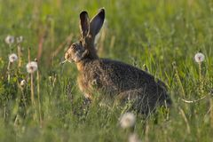 Hare in a field. Picture of a hare sitting in a field- the photo was taken in the early morning Stock Photos