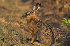Hare in a field. Picture of a hare sitting in a field- the photo was taken in the early morning Royalty Free Stock Photos