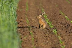 Hare in a field. Picture of a hare sitting in a field- the photo was taken in the early morning Stock Images