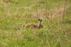 Hare in a field, hide from potential predators Stock Photo