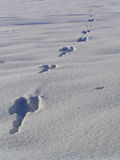 Hare footprint on snow Stock Images