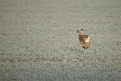 A hare on a frosty morning Royalty Free Stock Photos