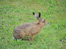 Hare. A hare on the grass Stock Photography