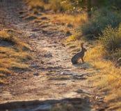 Hare Stock Photo