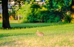 Hare in the grass in the forest. Brown hare in the grass in the forest, bunny, rubbit, red, eyes, fur, hide, lay, green, plants, earth, ground, outdoor, park royalty free stock image