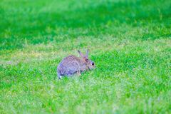 Hare in the grass in the forest. Gray hare in the grass in the forest, bunny, rabbit, red, eyes, brown, fur, hide, lay, green, plants, earth, ground, outdoor royalty free stock photography