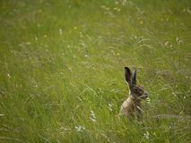 Hare in the grass. A hare hiding in the grass on elmey nature reserve, isle of sheppey Royalty Free Stock Images