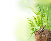 Hare and grass - spring card Stock Photography
