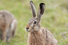 Hare in the grass. In the wild royalty free stock photos